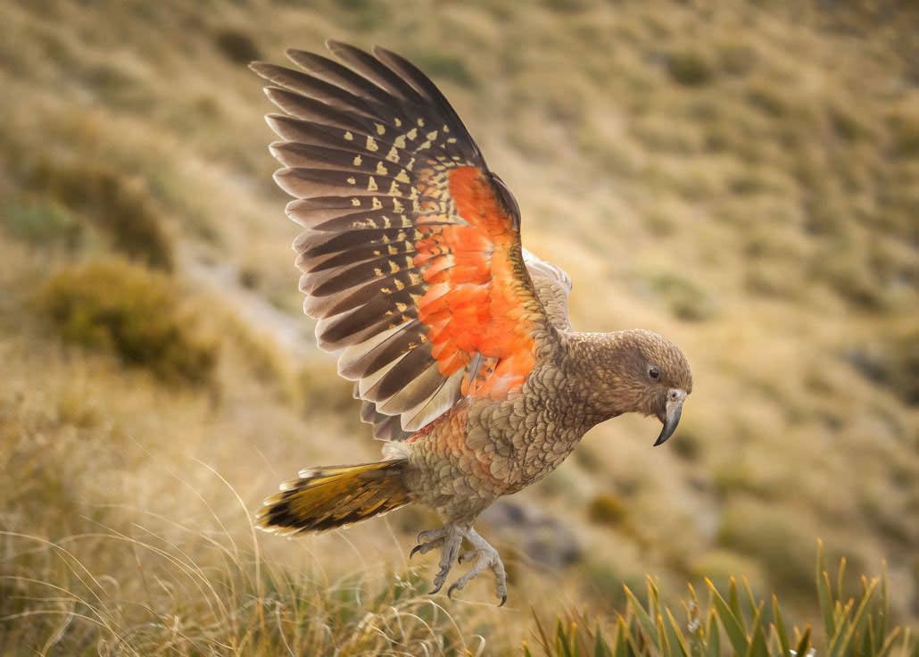 Un peu de lecture, un peu de pratique et cette fois je l'ai, le kea en plein vol ! Nouvelle-Zélande